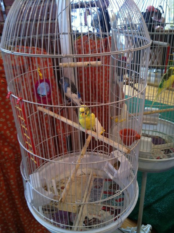 Donna's parakeets